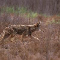 Coyote USFWS