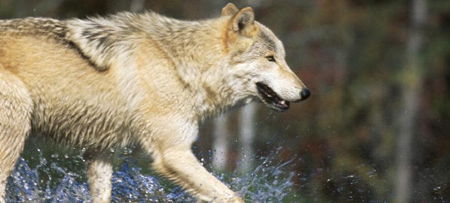 wolf 10