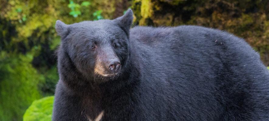 Maine Bear Campaign