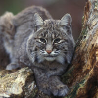 bobcat, lynx rufus, by Gary Kramer, no date, 2347, 101.3.01