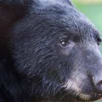 Wild Black Bear at Anan Bear Observatory