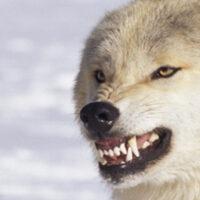 Wisconsin Wolf Stalking Banner