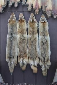 coyotes_vertical
