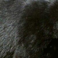 Black_bear_top_La_FWS-image