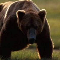 P1_bear_grizzly_walking