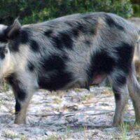 P1_wild-pig-hog_FL