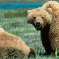 P1_grizzly-bear_Alaska