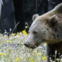 P1_grizzly_meadow_Yellowstone-Park