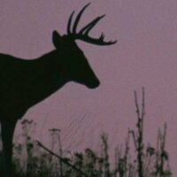 P1_whitetail_deer_USFWS