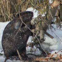 P1_Beaver_tree_snow