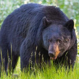 new-jersey-black-bear
